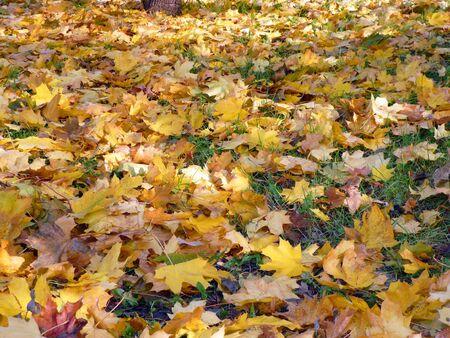 yellow maple carpet on asphalt at autumn photo