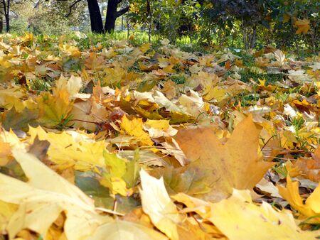 yellow maple carpet on asphalt at autumn Stock Photo - 3738234