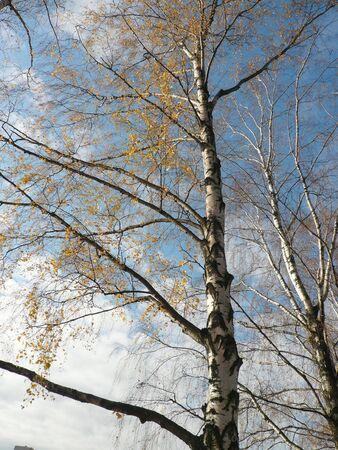 birch alley at autumn in city park photo