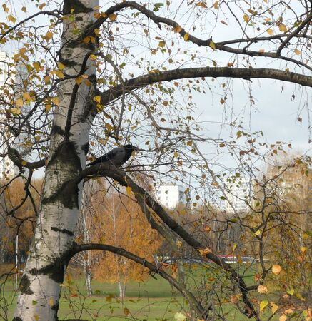 crow on birch in city park photo