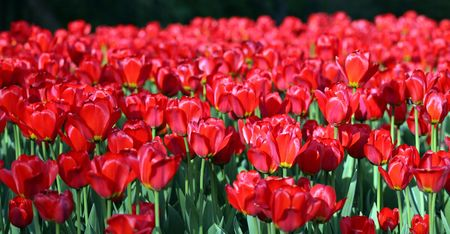 red tulip at spring in may Stock Photo - 3871083