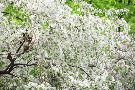 cherrytree: cherry-tree flower at day