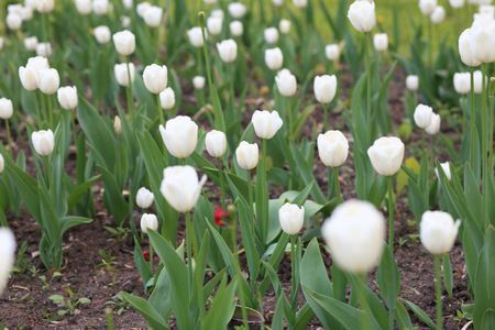 white tulip at spring on Earth photo