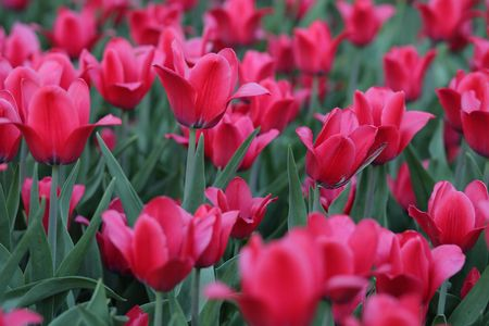 red tulip at spring on Earth Stock Photo - 4125318