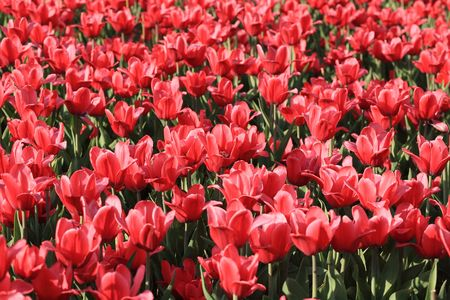 red tulip at spring on Earth photo