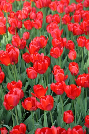red tulip at spring on Earth Stock Photo - 4125320