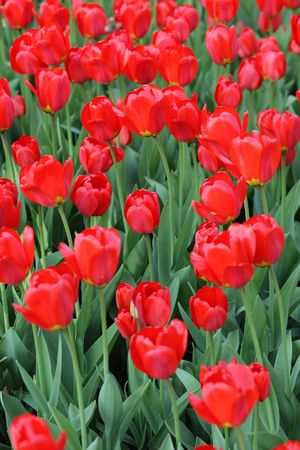 red tulip at spring on Earth Stock Photo - 4125319