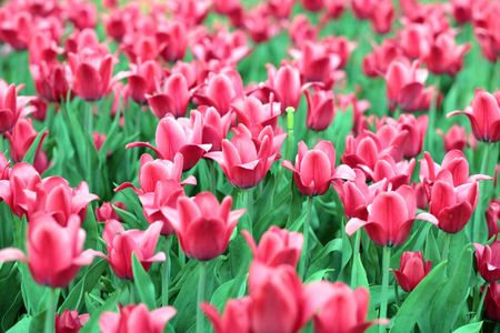 tripped: red tulip at spring on Earth