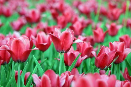 red tulip at spring on Earth Stock Photo - 4289504