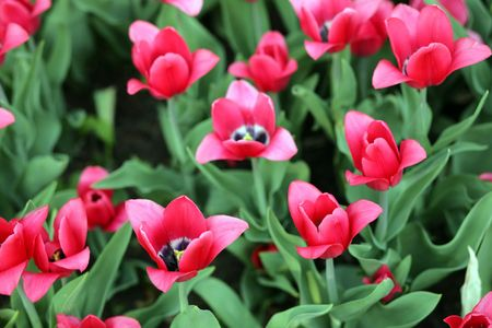 red tulip at spring on Earth Stock Photo - 4289502