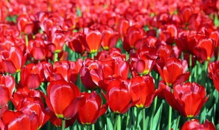 red tulip at spring on Earth Stock Photo - 4305285