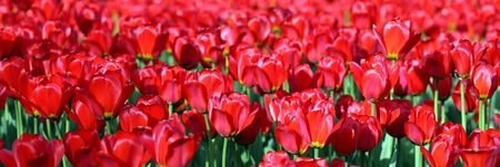 red tulip at spring in may photo