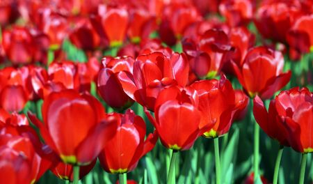 red tulip at spring on Earth Stock Photo - 4325506