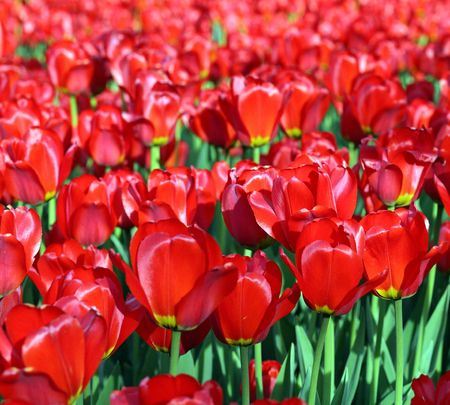red tulip at spring on Earth Stock Photo - 4399367