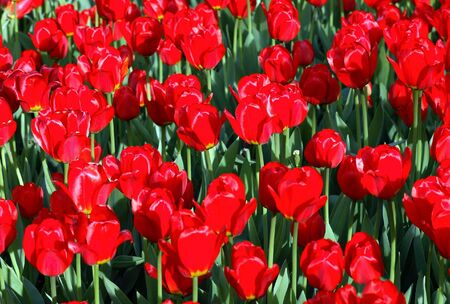 red tulip at spring on Earth Stock Photo - 4457144