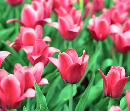 red tulip at spring on Earth Stock Photo - 4457143