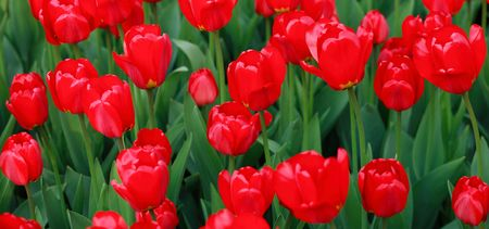 red tulip at spring on Earth Stock Photo - 4457142