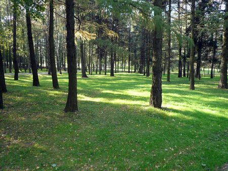 coniferous forest in city park ad day photo