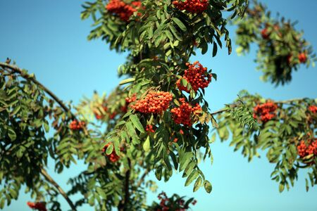 ashberry with leafs on sky background, september Stock Photo - 4649707