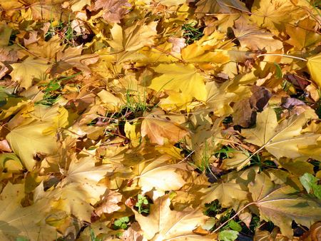 yellow maple carpet at autumn Stock Photo - 4917793