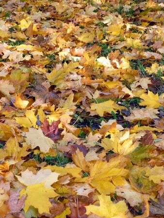 yellow maple carpet at autumn photo
