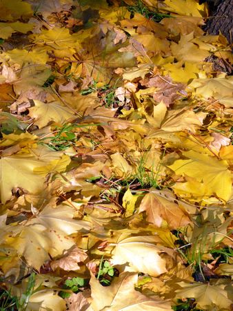 yellow maple carpet at autumn photo