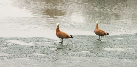 two geese on ice spring, march Stock Photo - 4933465