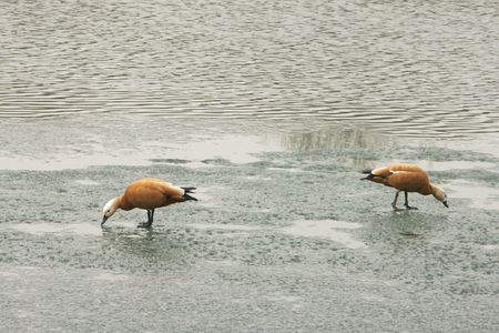 two geese on ice spring, march Stock Photo - 4933467