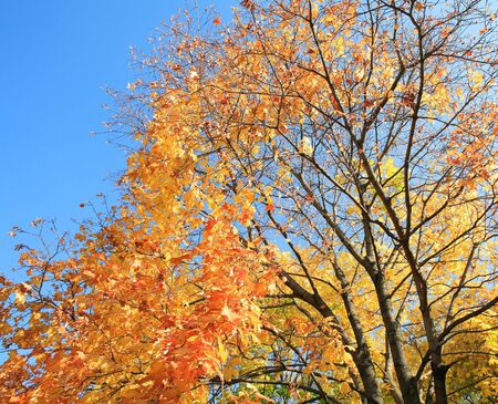 yellow leafs on tree , gold fall, september photo