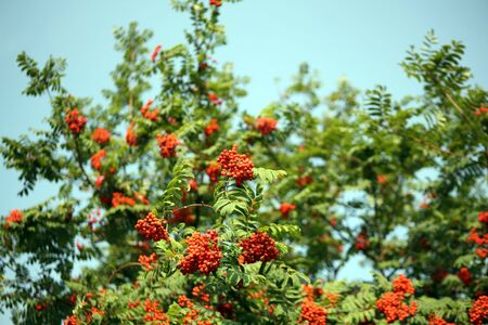 ashberry with leafs on sky background Stock Photo - 5342574