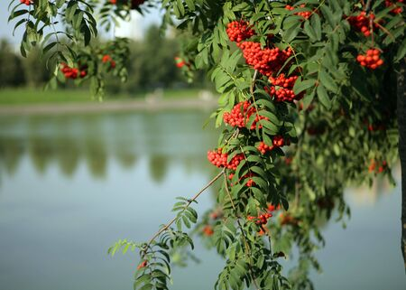 ashberry with leafs on sky background Stock Photo - 5582017