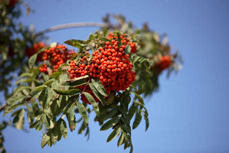 ashberry with leafs on sky background, september Stock Photo - 5656513
