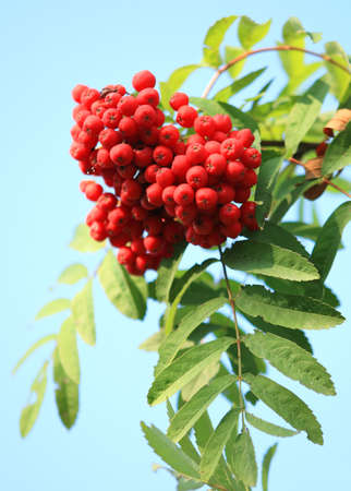 ashberry with leafs on sky background Stock Photo - 5672405