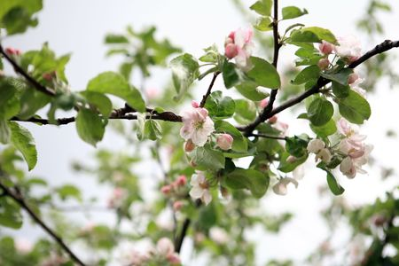 apple flower on tree at spring day  photo