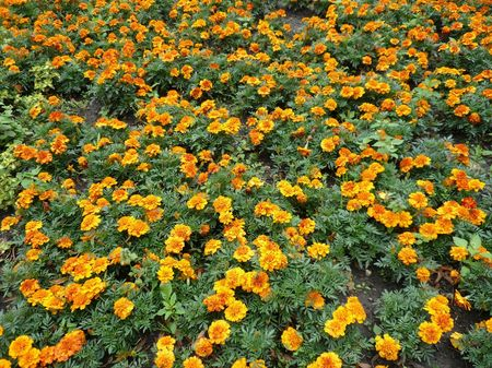 yellow flowers on flowerbed at summer photo