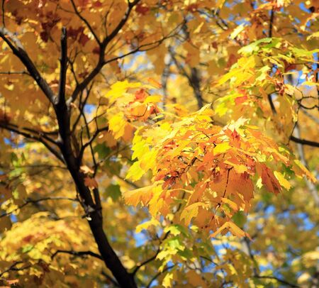 yellow leafs on tree , gold fall, september Stock Photo - 7229050