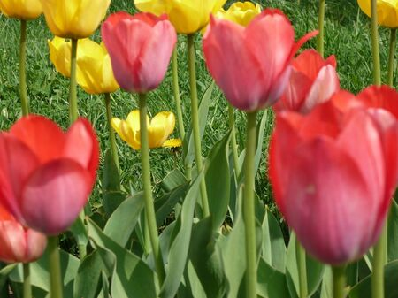 red and yellow tulip at spring day on Earth photo