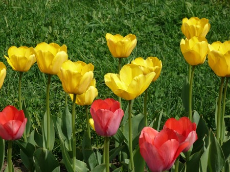 red and yellow tulip at spring day photo