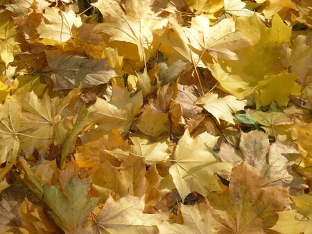 yellow maple carpet at dry sunny day photo