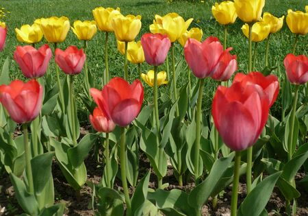 red and yellow tulip at spring sunny day Stock Photo - 8489012