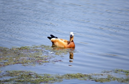 one roody shelduck on water at day photo