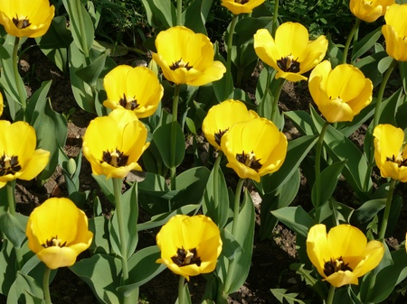 yellow tulip at spring day photo