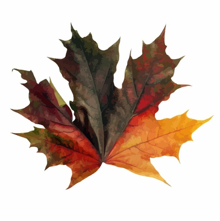 red maple leaf vector on white background