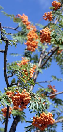 ashberry with leafs on sky background, september photo