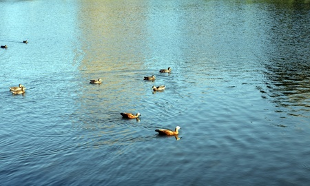 ducks on water photo