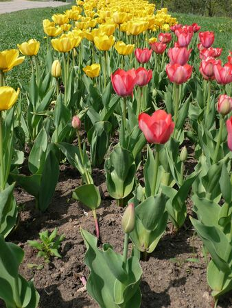 red and yellow tulip at spring dry sunny day photo