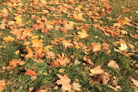 yellow maple leafs on earth Stock Photo - 14049927