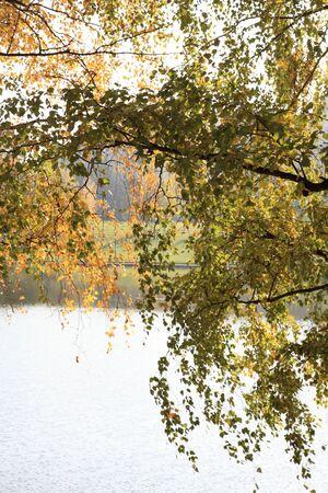 birch at autumn photo