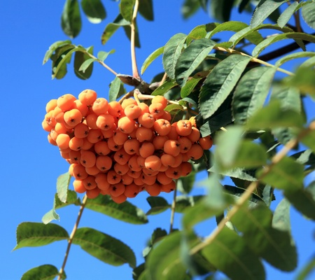 ashberry at dry sunny day Stock Photo - 14105984