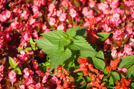 sinlight: nettle on red little flowers Stock Photo